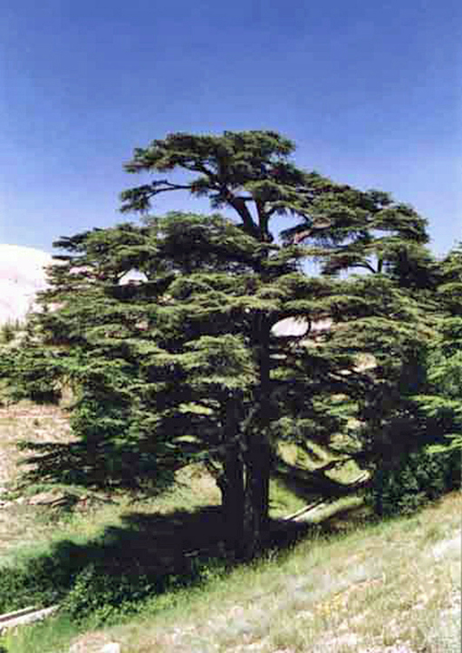 The Cedars of Lebanon, in the mountains near Hasroun, Lebanon, courtesy of Ina Rihani and Our Lady of Lebanon Maronite Church, Washington, D. C.